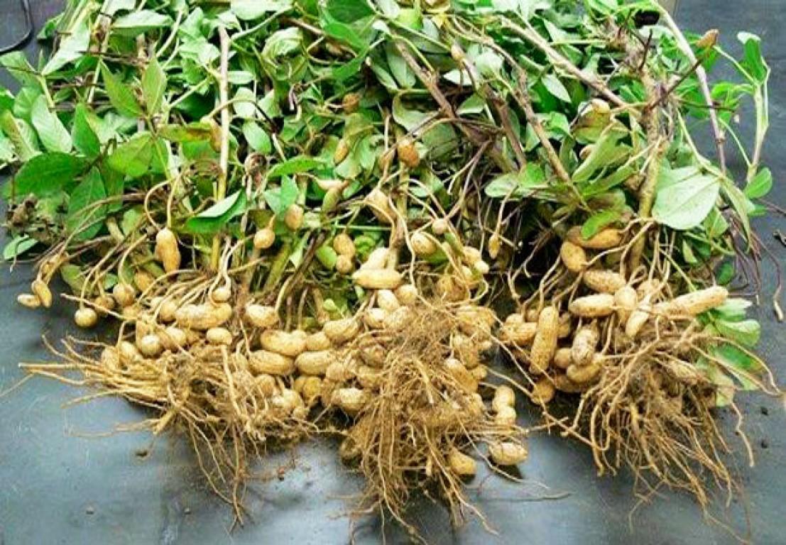 culture de l'arachide au sénégal - doit-on s'en passer ?
